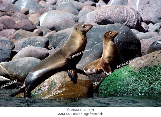 California Sea Lion (Zalophus californianus), pair, Sea of Cortez, wild
