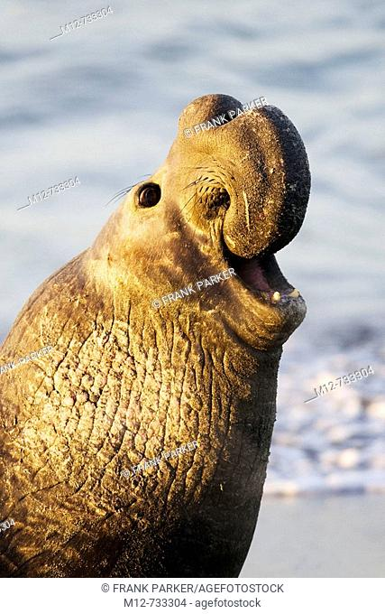 Bull Elephant Seal bellows for dominance on San Simeon beach, California, USA