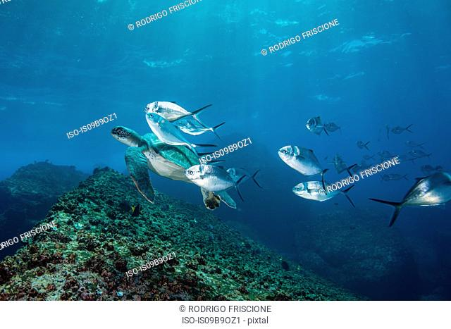 Underwater view of turtle and jack fish, Seymour, Galapagos, Ecuador, South America