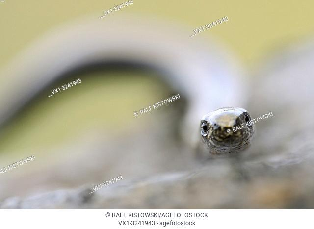 Close-up, frontal headportrait of Slow Worm / Blindschleiche (Anguis fragilis)