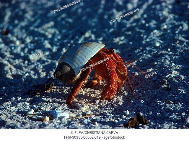 Hermit Crab Dardanus megistos walking on beach, Great Barrier Reef, Australia