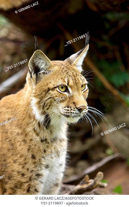 Siberian Lynx, lynx lynx wrangeli