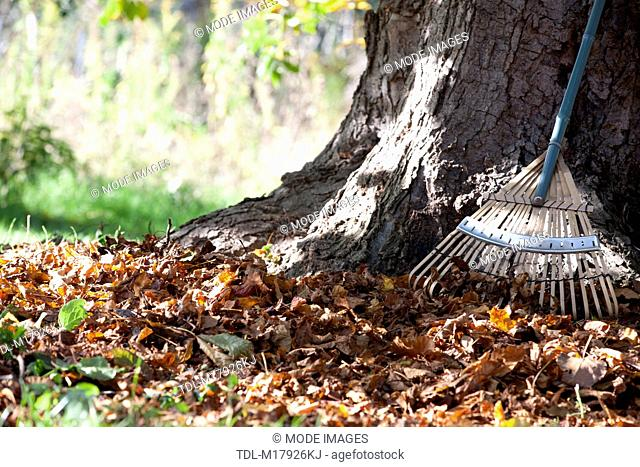 A rake leaning against a tree, cropped