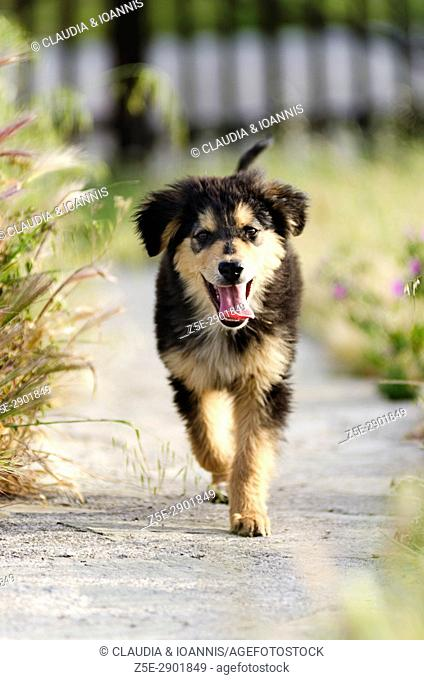 Front view of a puppy running towards the camera
