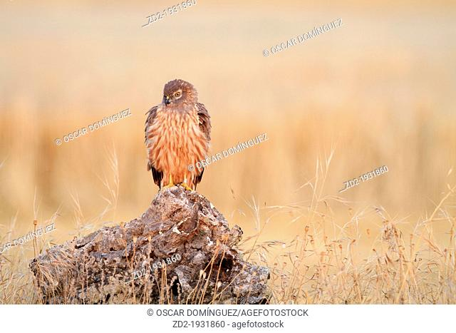 Montagu's Harrier (Circus pygargus) female perched on a stump at sunrise. Lleida. Catalonia. Spain