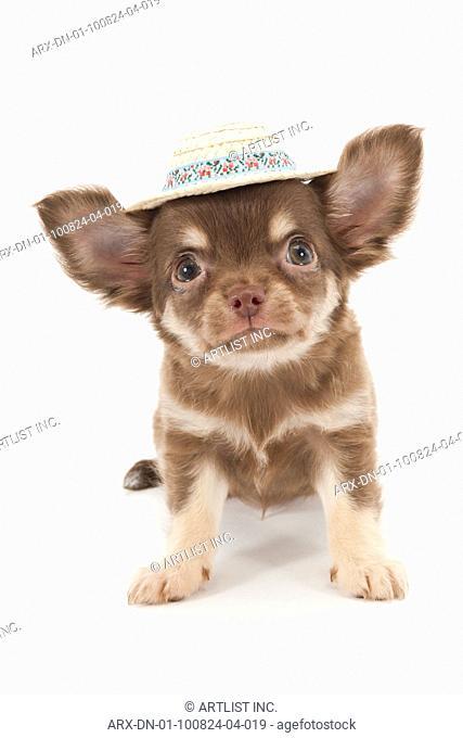 A puppy wearing hat