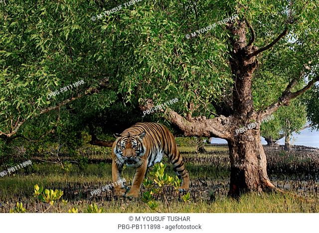 Royel bangel tiger in Sundarban The Sundarbans, a UNESCO World Heritage Site and a wildlife sanctuary The largest littoral mangrove forest in the world