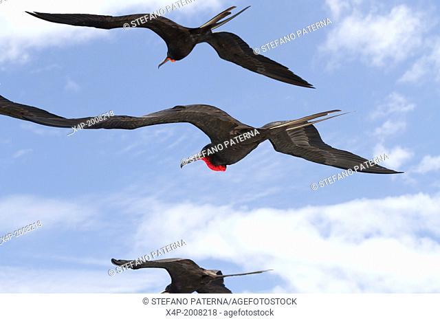 Frigatebirds, Fregatidae, Fregata, Galapagos Islands, Ecuador