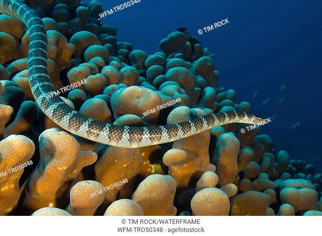 Sea Snake in Coral Reef, Hydrophis sp., Pura Island, Alor Archipel, Lesser Sunda Islands, Indonesia