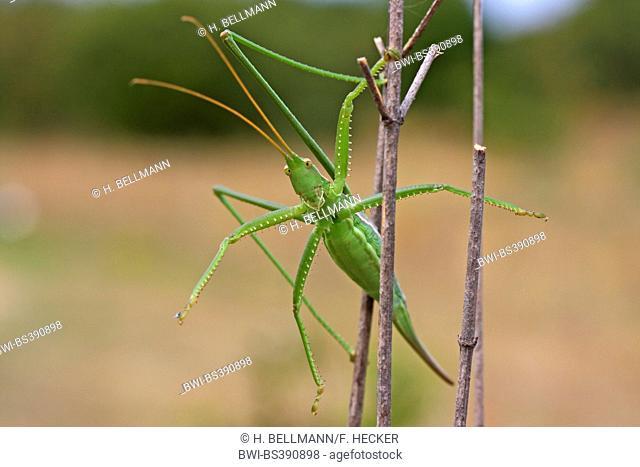 Predatory bush cricket, Predatory bush-cricket, Spiked Magician (Saga pedo), female at a sprout