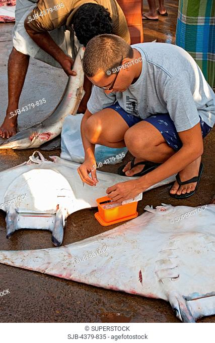A scientist collecting a DNA sample from a devilray Mobula japanica, Mirissa harbour, Sri Lanka