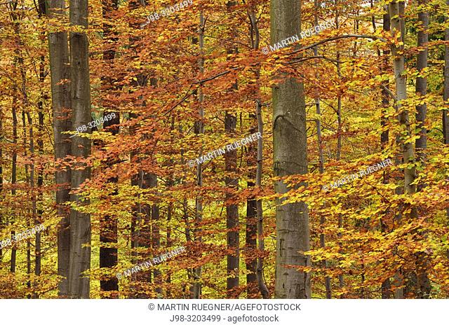 Forest in autumn colours. Bavaria, Germany