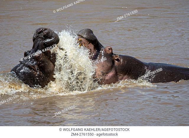 Two hippos (Hippopotamus amphibious) fighting in the Mara River in the Masai Mara National Reserve in Kenya