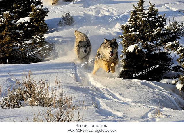 Grey Wolf Timber Wolf Canis lupus Running down snowy hillside, Bozeman, Montana, USA