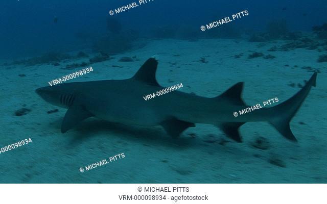 White tip reef shark, Triaenodon obesus, on seabed. Palau, Pacific