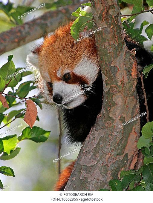 red panda cincinnati zoo ohio 553 west virginia