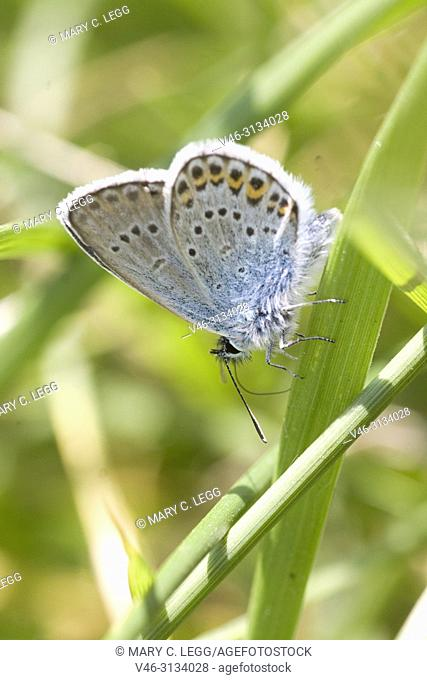 Idas Blue, Plebejus idas. Idas Blue, Plebejus idas are myrmephilic Lycaenidae associatted withLasius and Fromica ants. Meadow grasslands with large variety of...