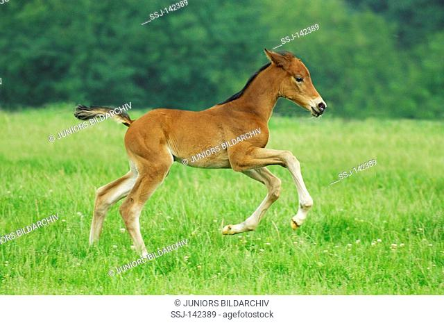 foal - galloping on meadow