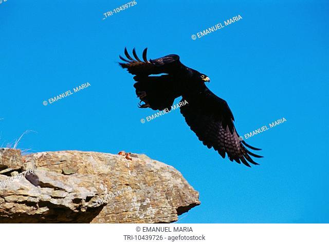 Black Eagle South Africa Aquila Verreauxii In Flight