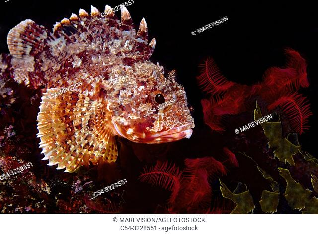 Lesser red scorpionfish. Small red scorpionfish (Scorpaena notata). Eastern Atlantic. Galicia. Spain. Europe