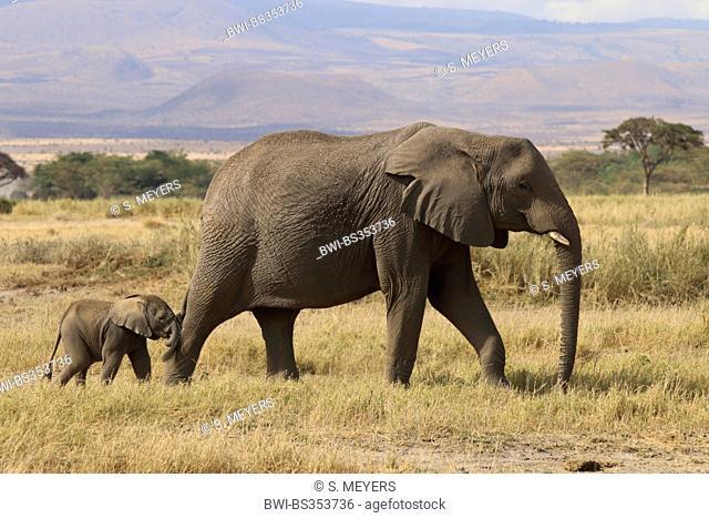 African elephant (Loxodonta africana), female and baby, Kenya, Amboseli National Park