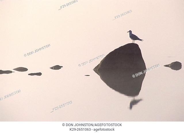 Herring gull (Larus argentatus), Little Current, Ontario, Canada