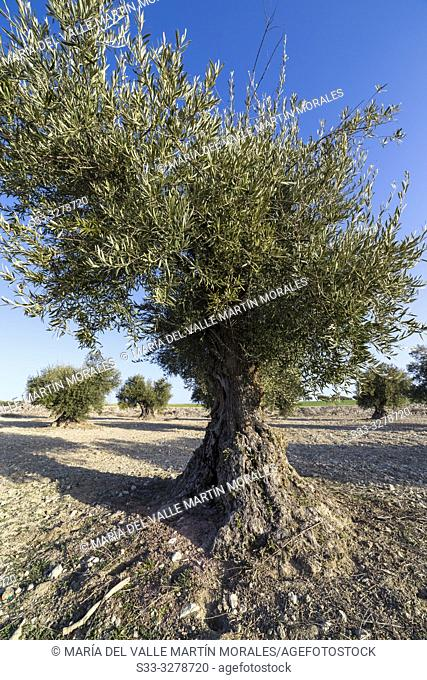 Olive trees in the country of Pinto on a sunny day. Madrid. Spain. Europe