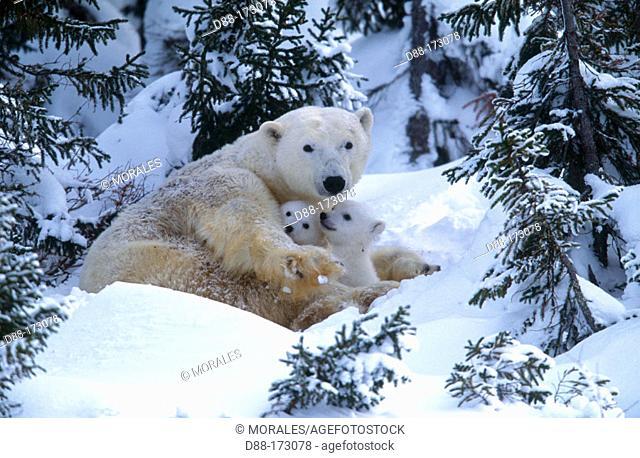Polar Bears (Ursus maritimus), february. Wapusk National Park ( 50 km south of Churchill) . Canada