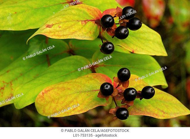 Tutsan (Hypericum androsaemum) fruits