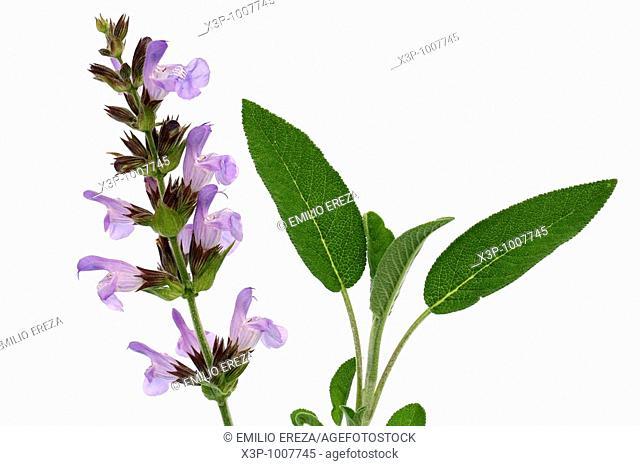 Salvia Salvia officinalis