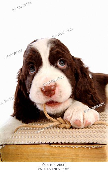 house pet, springer spaniel, canines, domestic, spaniel, pose, english springer spaniel
