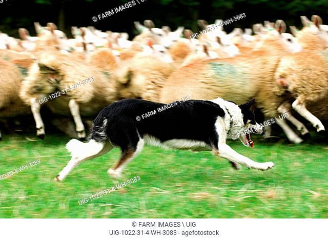 Collie sheepdog rounding sheep up. (Photo by: Wayne Hutchinson/Farm Images/UIG)