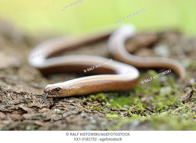 Slow Worm ( Anguis fragilis ), adult female, wiggling on ground, darting its tongue in and out.