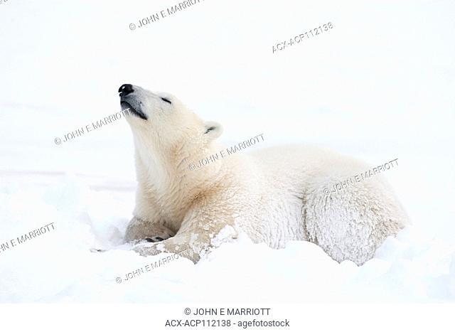 Polar bear sniffing the air
