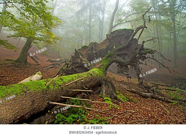 common beech (Fagus sylvatica), uprooted tree, Germany, Hesse, Kellerwald National Park