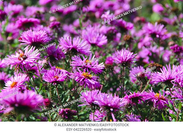 Aster Autumn Flowers. Big bush of lilac asters blooming in yard in September. Bright pink flower asters closeup. Autumnal flowers sway in wind