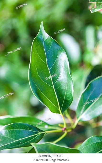 Leaves of camphor tree (Cinnamomum camphora )