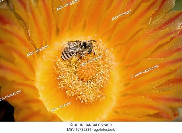 Digger Bee - on fishhook barrel cactus blossum (Ferocactus wislizeni)