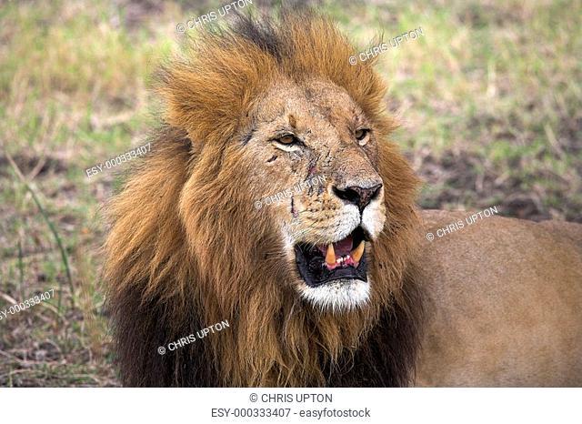 Portrait of a lion, Masai Mara, Kenya, Africa