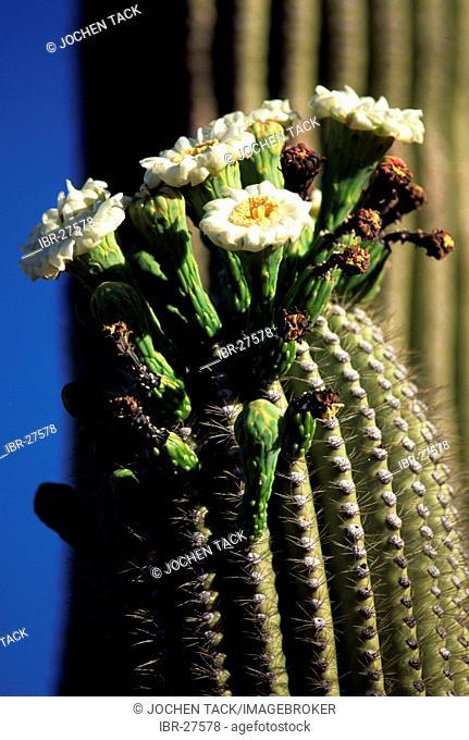 USA, United States of America, Arizona: Saguaro cactus, in bloom