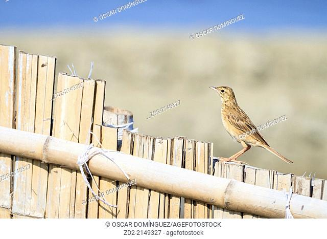 Richard's Pipit (Anthus richardi) perched on bamboo fence. Pak Thale. Thailand