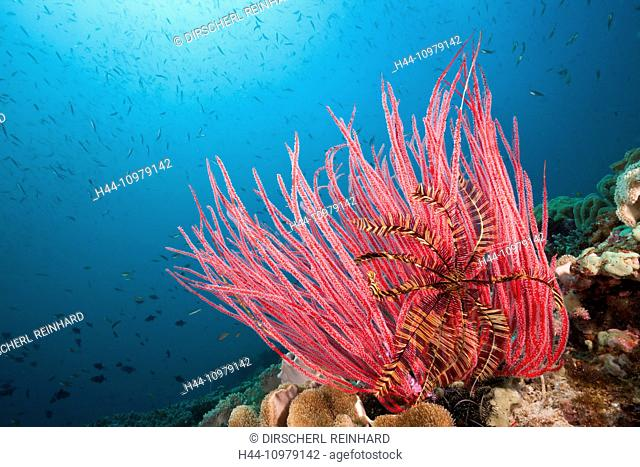 Red Whip Coral, Ellisella ceratophyta, Triton Bay, West Papua, Indonesia