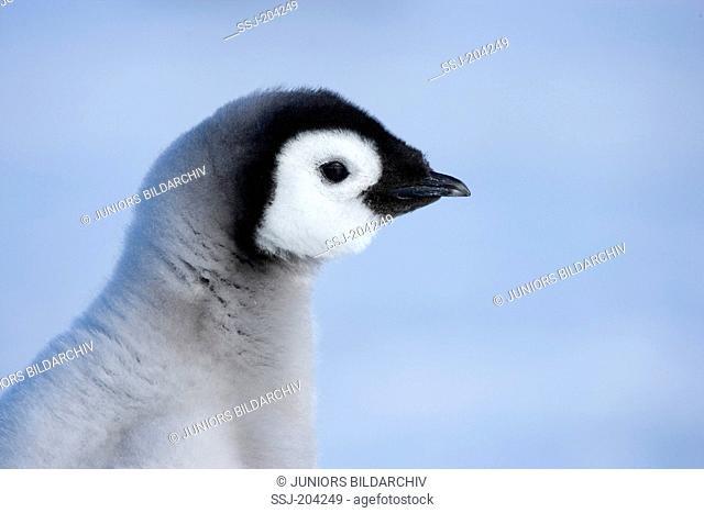 Emperor Penguin (Aptenodytes forsteri). Portrait of a chick. Snow Hill Island, Antarctica
