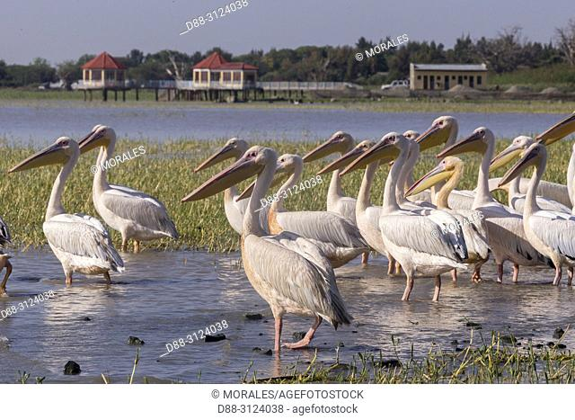 Africa, Ethiopia, Rift Valley, Ziway lake, Great White pelican (Pelecanus onocrotalus) around fishermen boats, they are waiting for the remains of fish thrown...