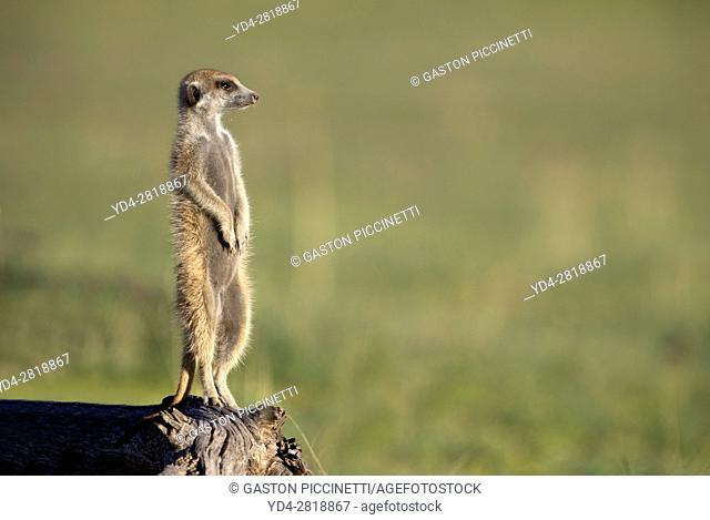 Suricate (Suricata suricatta), on a wooden log watching. Always alert to the possible attack of a predator. While watching the rest of the group is dedicated to...