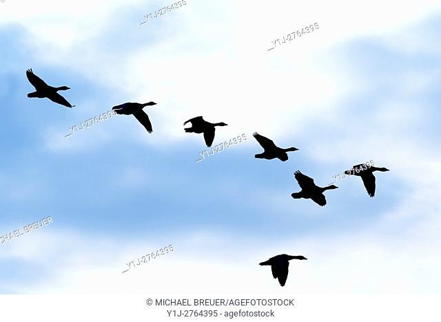 Greylag geese, Anser Anser, Hesse, Germany, Europe