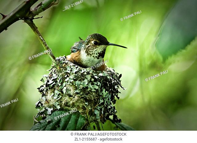 Roofus humming bird sitting on her nest with two babies below her. You can see one small beek sticking up on the left