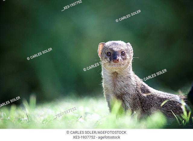 Mongoose, Hanauma Bay, Oahu