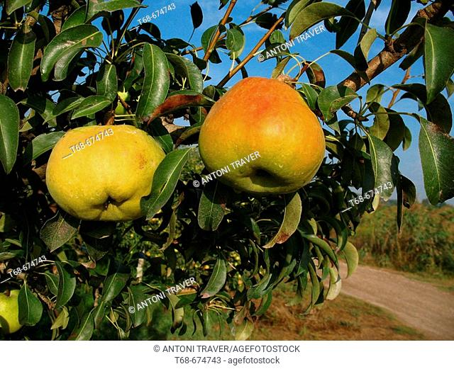 Pears in orchard. Lleida. Catalonia. Spain