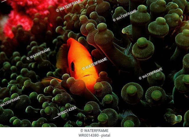 Saddle Anemonefish, Amphiprion ephippium, Similan Islands, Thailand